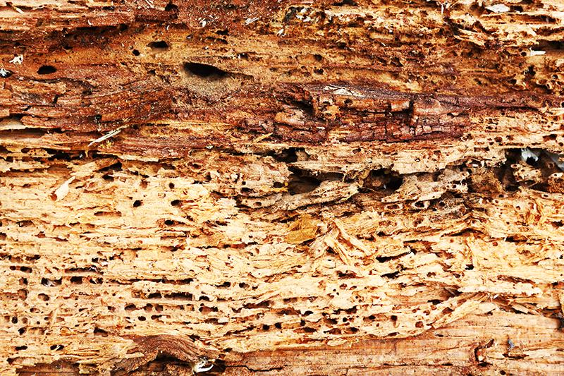 houtworm verdelgen last van hout worm kevers