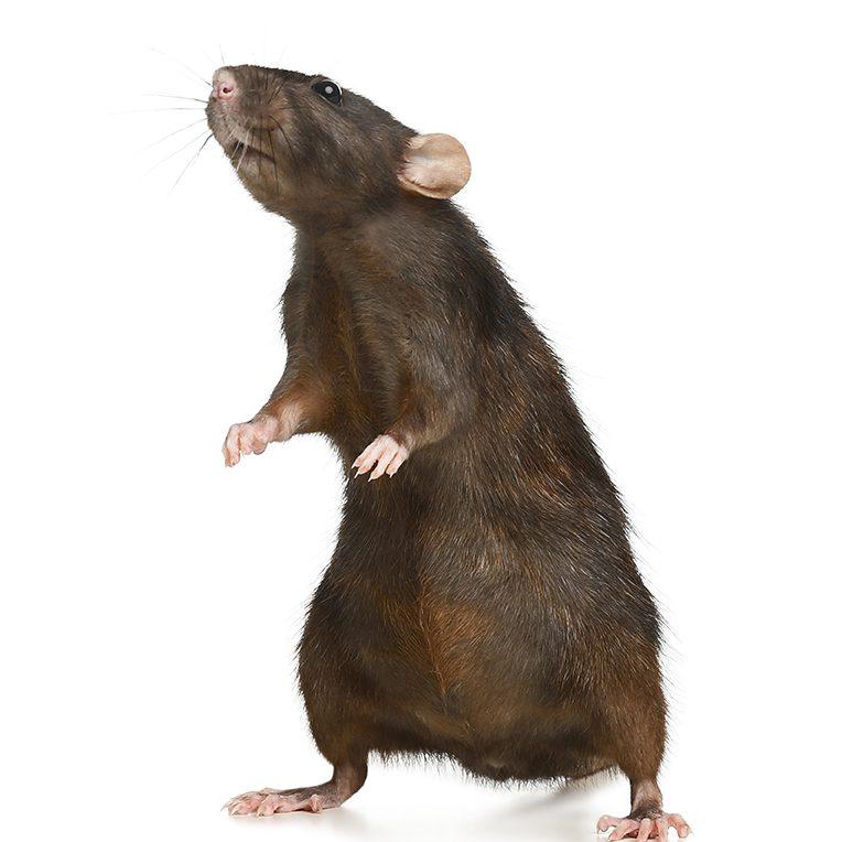 bruine rat verdelging bestrijding