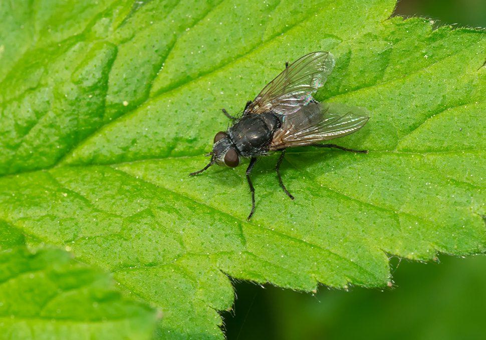 clustervliegenplaag bestrijden zoldervliegen